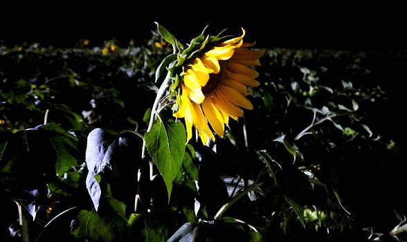 Sun Flower Field in Darkness by Laurie Pike