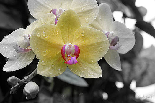 Sun-kissed Orchid by Chayla Brown