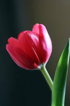 Sun Kissed Tulip I by Lesley Smitheringale