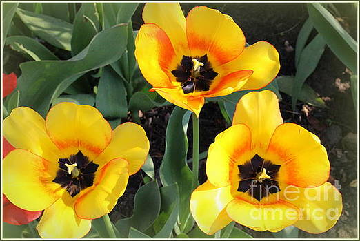 Tulips Kissed By The Sun by Dora Sofia Caputo Photographic Art and Design