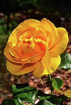 Sunbeam Floribunda Rose 001 by George Bostian