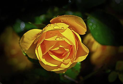 Sunbeam Floribunda Rose 002 by George Bostian