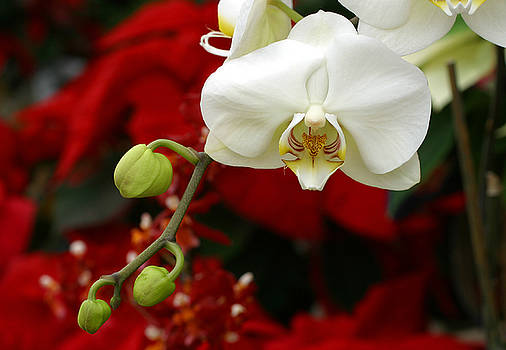 Sunday Afternoon Orchid by Steve Augustin