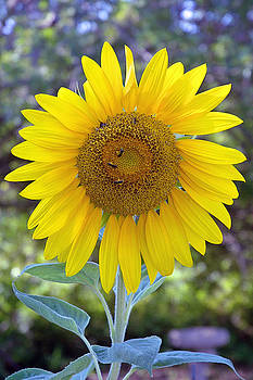 Sunflower 1 by Mickie Boothroyd
