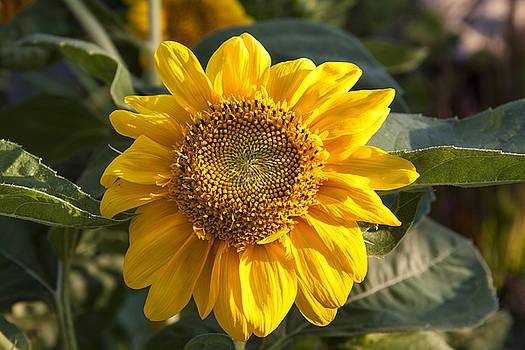Sunflower 1 by Zeljko Dozet