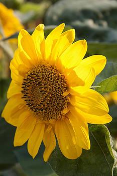 Sunflower 2 by Zeljko Dozet