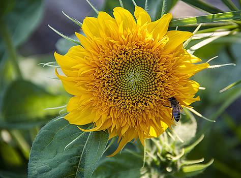 Sunflower 3 by Zeljko Dozet