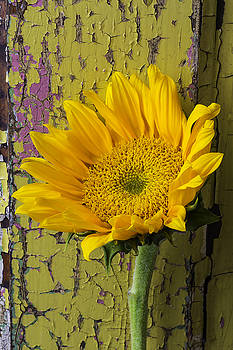 Sunflower Against Old Yellow Wall by Garry Gay