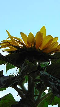 Sunflower  by Alina Kurkierewicz