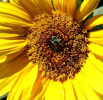 Sunflower and a Green Bee by Joanna Aud