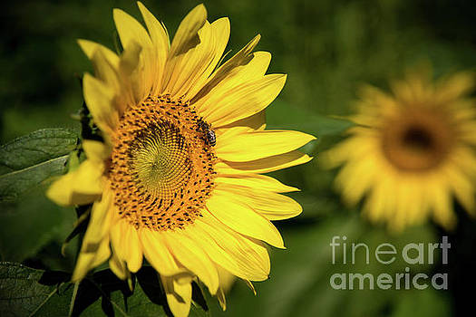 Sunflower and Bee by Sandy Molinaro