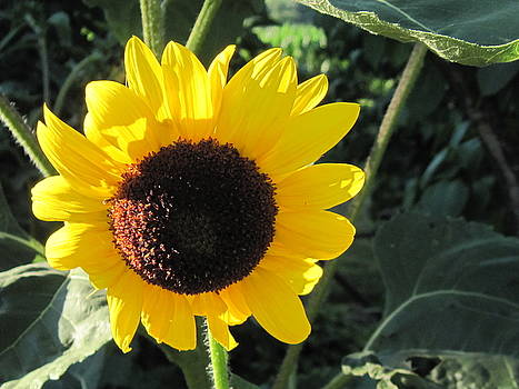 Sunflower at sunset by Donna Cavender