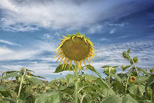 Sunflower by Debra Forand