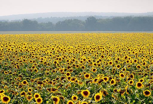 Sunflower Field by Antonio Gruttadauria