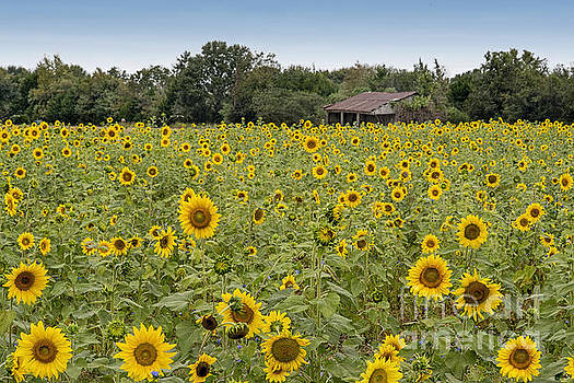 Sunflower Field by Bonnie Barry