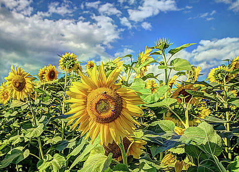 Sunflower Field by Jerri Moon Cantone