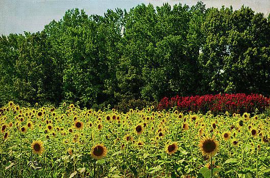 Sunflower Field by Sandi OReilly