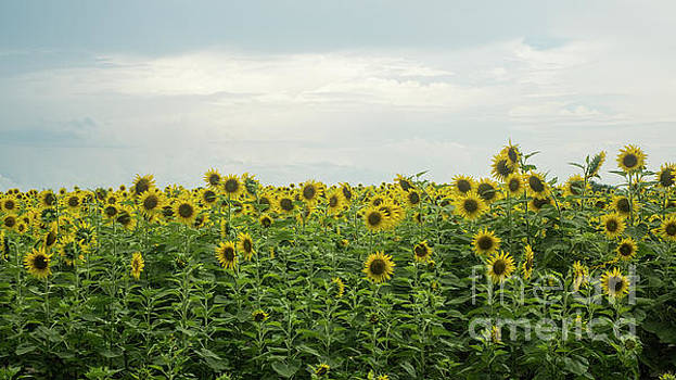 Sunflower Field by Ules Barnwell