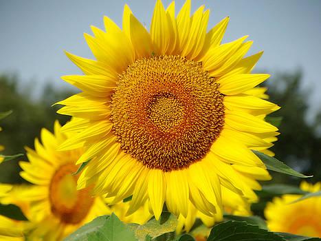 Sunflower Fields of Kansas by Rebecca Overton