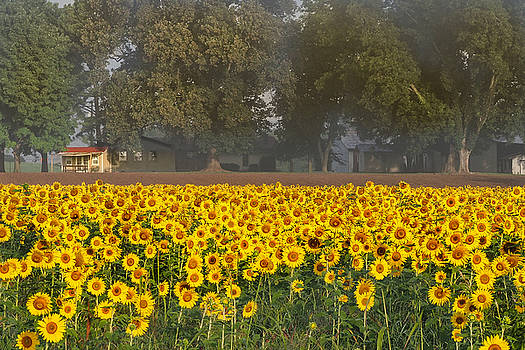 Sunflower Fields by Paula Ponath