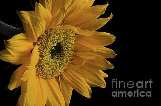 Sunflower from Left Nature Photograph by Melissa Fague