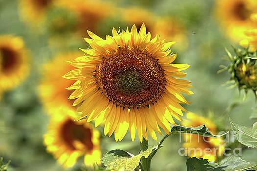 Sunflower by Geraldine DeBoer