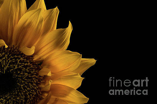 Sunflower in Corner Nature Photograph by Melissa Fague
