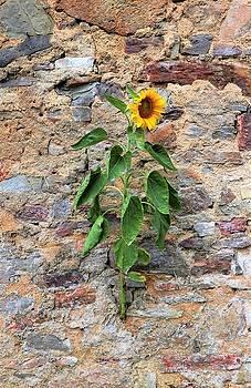 Sunflower in Wall by Jennifer Ansier