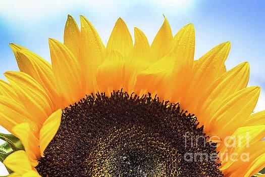 Sunflower by Kelly Ann Jones