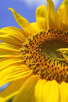Laurie Perry - Sunflower Macro