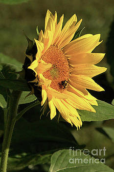 Sunflower Morning Dew by Natural Focal Point Photography