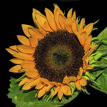 Sunflower On Black by Cathy Kovarik