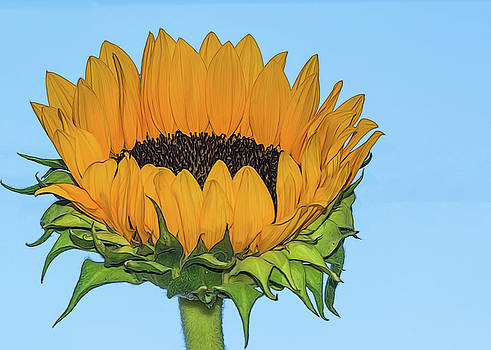 Sunflower On Blue by Cathy Kovarik