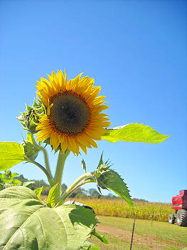 Sunflower on the Farm by Peter  McIntosh