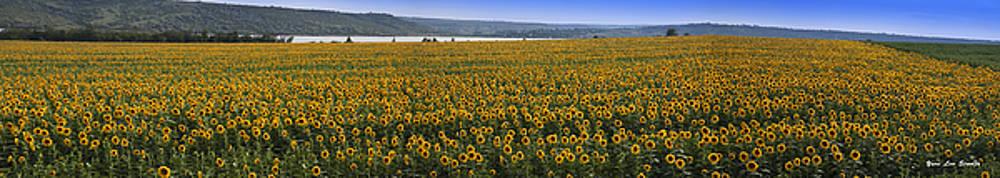 Sunflower Panorama in Ukraine by Yuri Lev