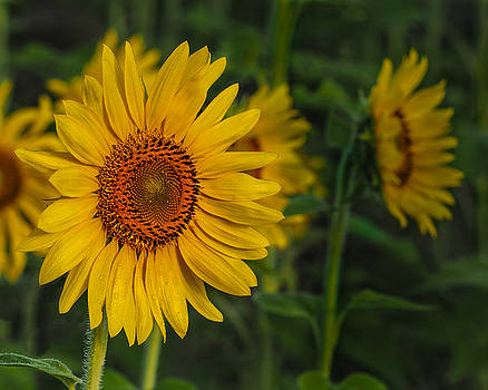 Sunflower by Paula Ponath