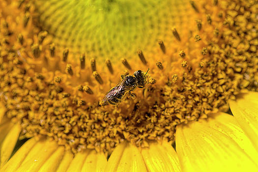 Sunflower Pollinator  by Kathy Clark