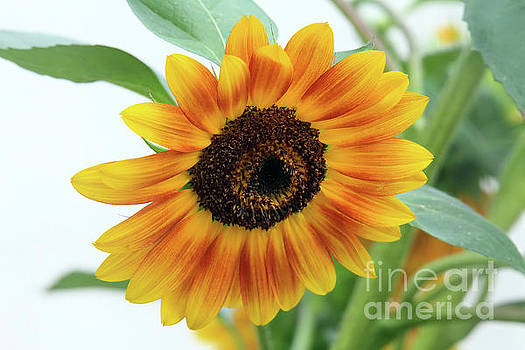 Sunflower by Roger Becker