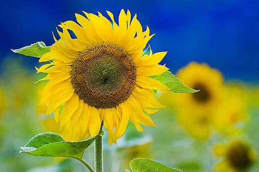 Sunflower by Silke Magino