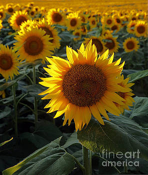 Sunflower Standout by Betty Morgan