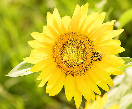 Sunflower With Bee by Cathy Donohoue