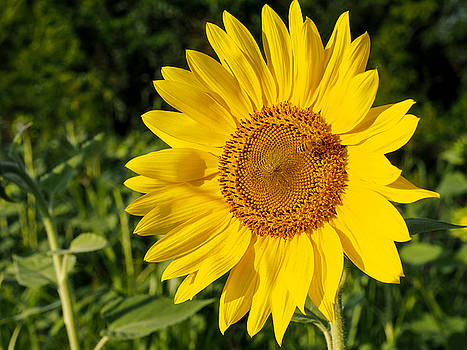 Sunflower with Bee by Paula Ponath