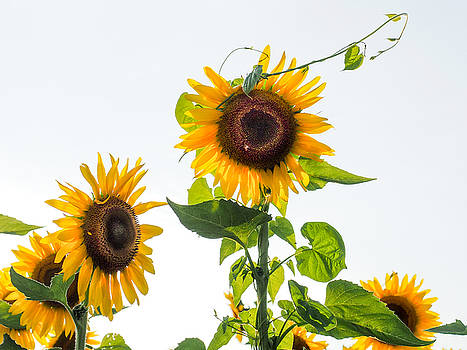 Sunflower with Vine by Paula Ponath