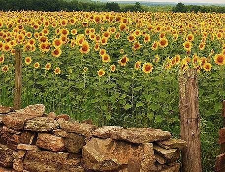Sunflowers and fence   by John Scates