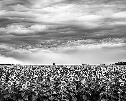 Sunflowers and Rain Showers by Penny Meyers