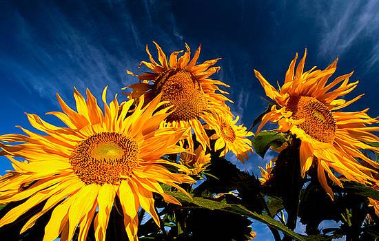 Sunflowers and sky by David Nunuk