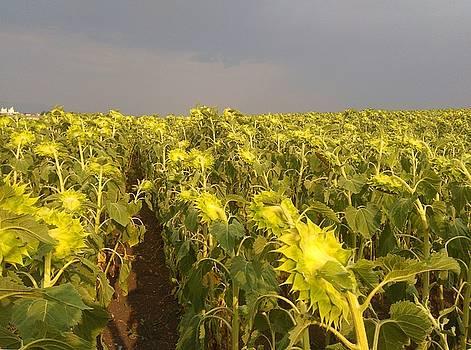 Sunflowers before the storm by Rumiana Nikolova