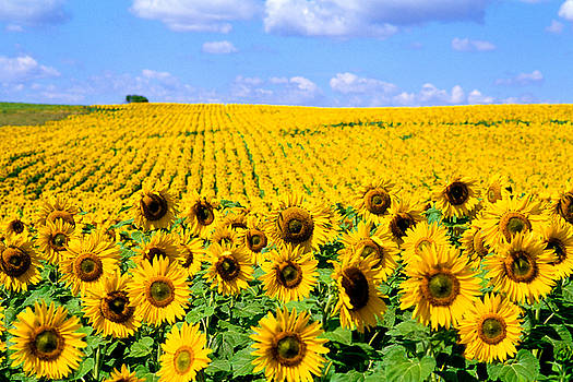 Bill Bachmann and Photo Researchers - Sunflowers