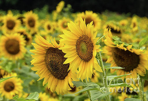 Sunflowers by Douglas Stucky