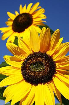 Gaspar Avila - Sunflowers